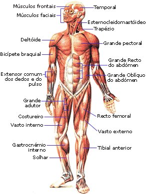 sistemamuscular