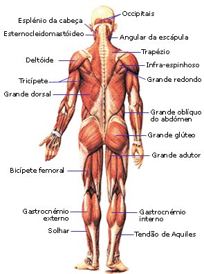 sistemamuscular2