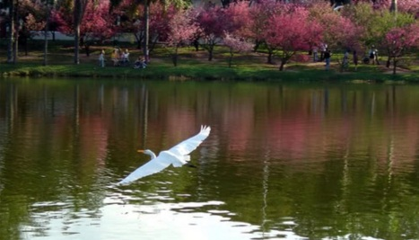5 de Maio - Garça (SP) - Garça voando sobre o lago.