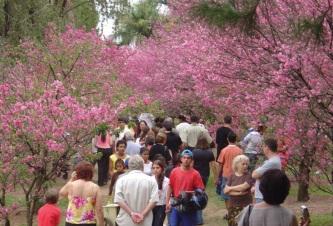 5 de Maio - Festa da Cerejeira de Garça (SP).